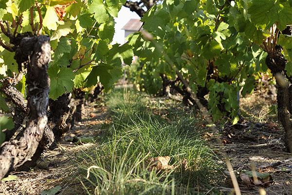 terroir vigne herbe