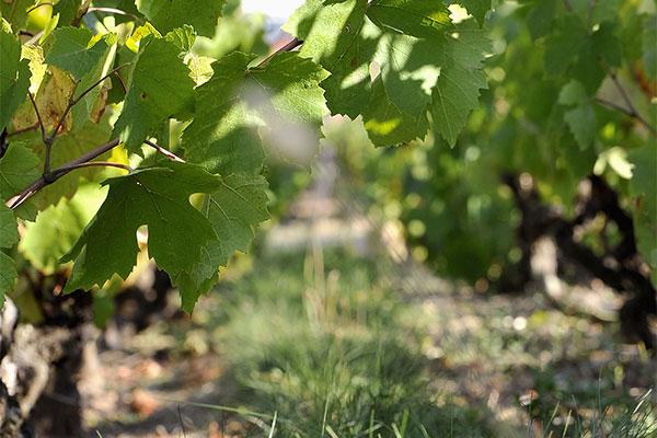 domaine vigne