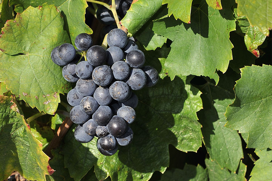 terroir grappe raisin